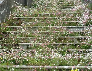 Eerigeron cascading down steps