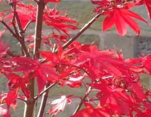 Colourful Acers
