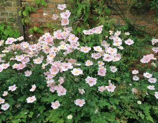 clump of  pink Japanese Anemones