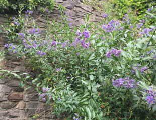 Solanum crispum wit pale blue flowers
