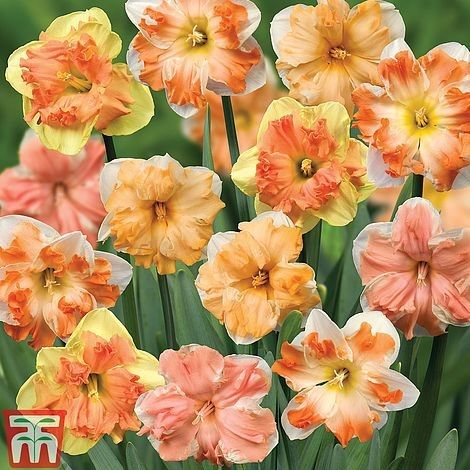 Narcissus 'Rainbow Butterflies' Mixed on sale Thompson and Morgan