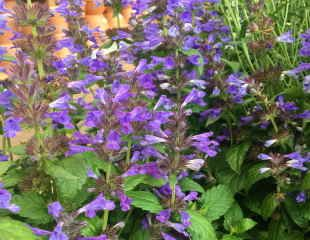 Nepeta neptune compact a low growing small variety