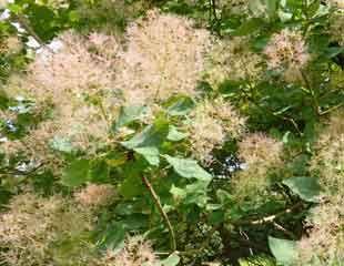 cotinus in bloom