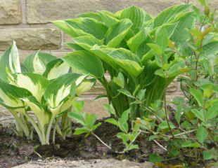 Hosta growing in garden wall  emerging in May