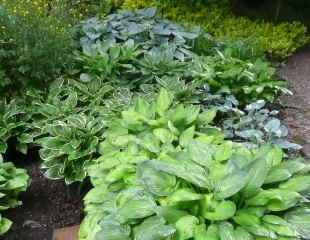 Various hosta growing together in Woodland setting