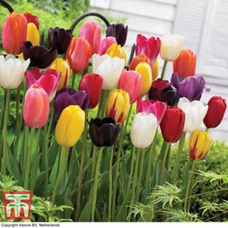 Tulip everlasting mixed