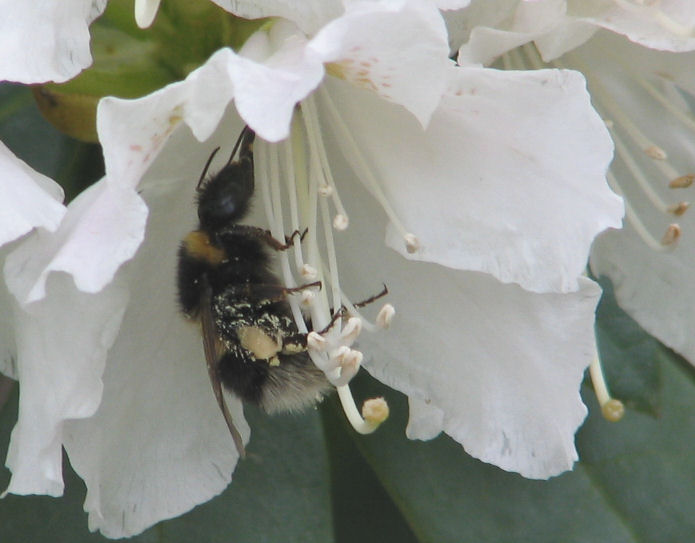 Rhodedendron and Bee by The Sunday Gardener