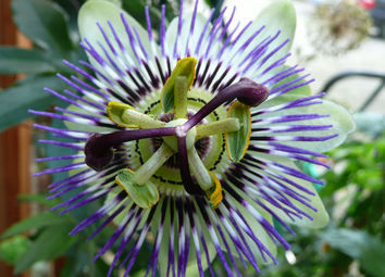 passiflora caerulea by The Sunday Gardener