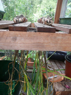 Garlic drying prior to cleaning by The Sunday Gardener