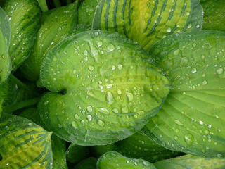 hosta leaf in rain by the sunday gardener