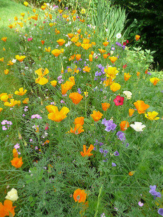 wild flower patch in full flower