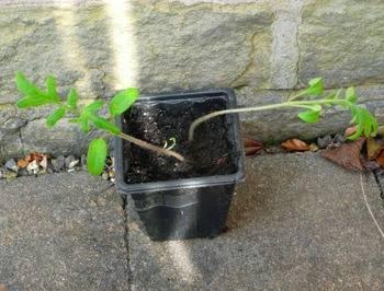 leggy tomato seedlings