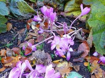 autumn flowering crocus speciosus