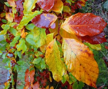 beech-hedge-in-colour