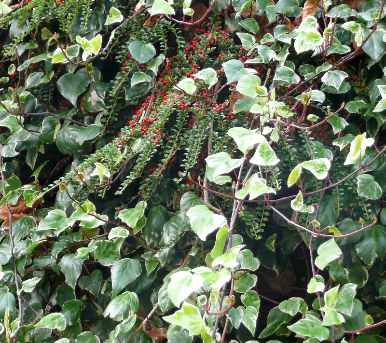 Hedera with Cotoneaster a wildlife friendly combination