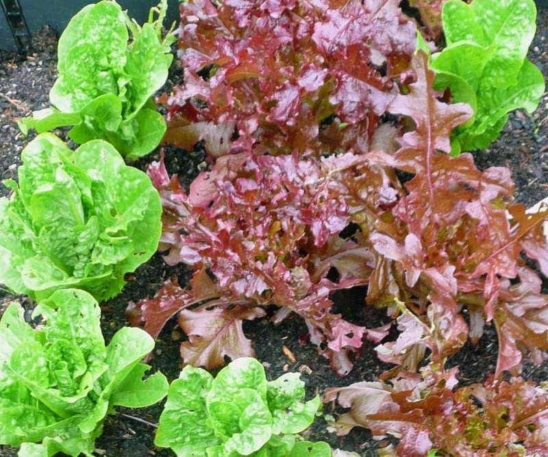 Growing lettuce little gems and red leaves