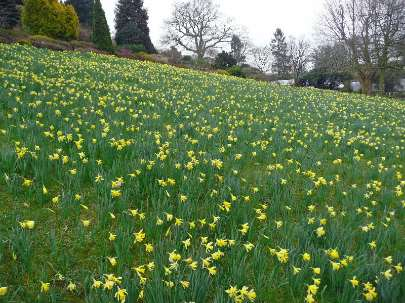 Narcissus on hillside at holehird Gardens lake district