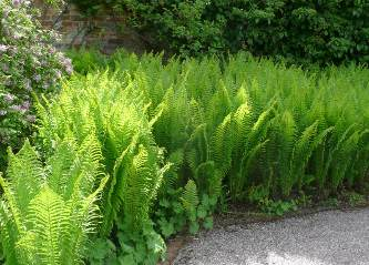 Ferns on Mass