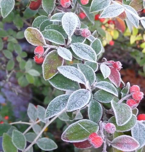 Winter berries on Cotoneaster