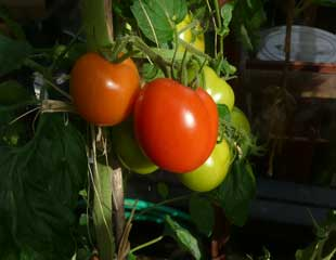 autumn-growing-tomatoes