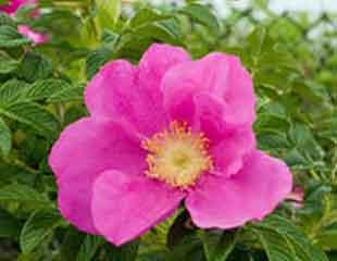 rosa-rugosa-final