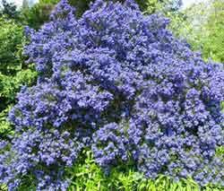 ceanothus-in-flower