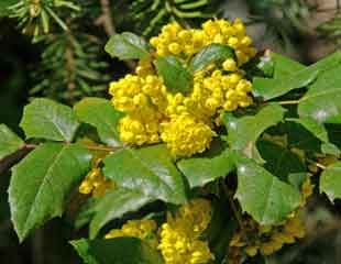 mahonia-in-flower-