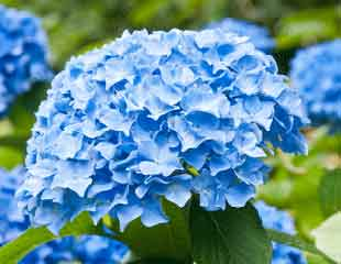 Hydrangea macrophylla light blue