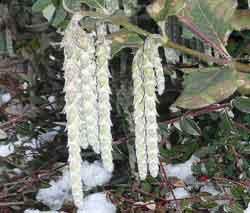 Garrya elliptica male flowers