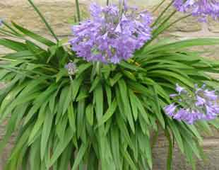 Agapanthus in a container