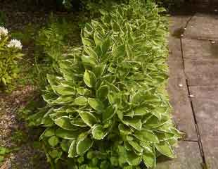 Hosta edging path