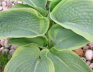 hosta mulched with stones