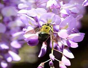 Wisteria is attractive to bees