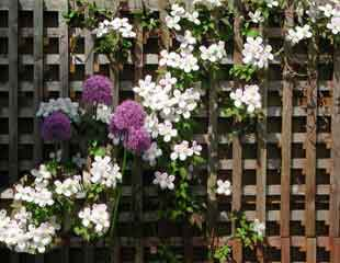 clematis-montana--and-allium-310x240