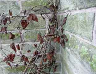 Clematis in winter