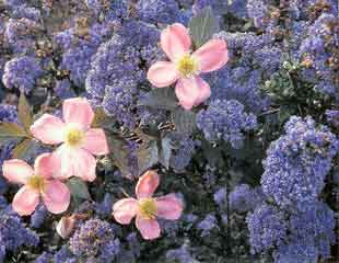 Ceanothus with Clematis montana