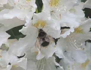 rhododendron-with-bee310x240