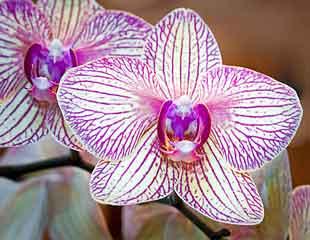 Moth Orchids Phalaenopsi
