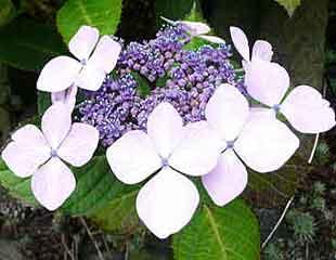 hydrangea macrophylla veitchii