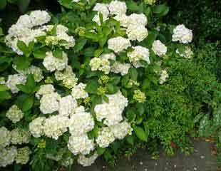 Hydrangea arborescens 'Annabella'