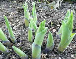 hosta emerging new growth in early may