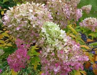 Hydrangea paniculata fading blooms