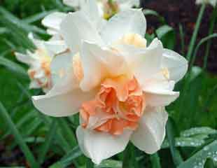 Scented Narcissus are amongst the loveliest of  fragrant spring bulbs.