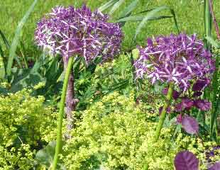 alchemilla and Allium Christophii