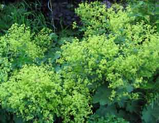 alchemilla lovely lime green flowers