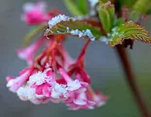 Viburnum x botnantense 'Dawn'