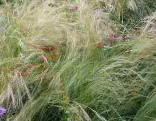 Soft fluffy grasses waving in breeze