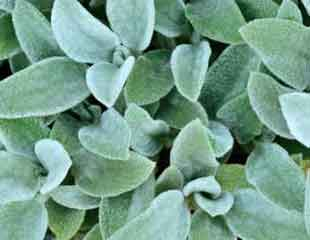 stachys  'bunnies-ears' like velvet to touch