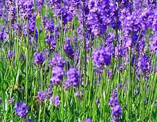 lavender hidcote  releases smell on touch