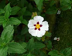 Cistus common name Rock rose